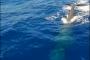 Gaeta: avvistata balenottera tra Ponza ed il Golfo di Gaeta.…